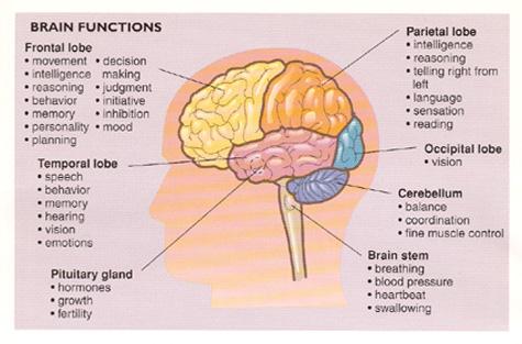 Chức năng các phần trong não